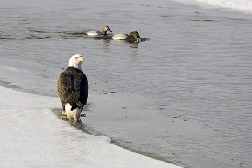 A bald eagle watching some ducks on an icy pond.
