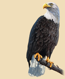 A bald eagle perched on a branch.