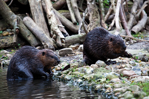 Beavers working together on shore.