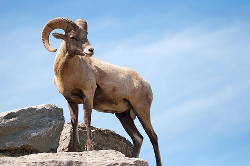 Bighorn sheep on a rock outcropping