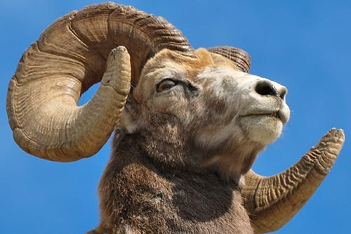 Bighorn Sheep Facts: A close up shot of a bighorn ram. A bighorn ram's horns may measure up to 15 inches in circumference.