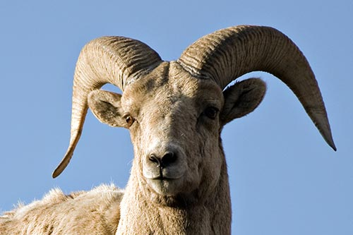 Bighorn Sheep Photos: A photo of a bighorn sheeps head.