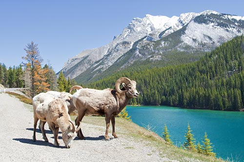 A pair of bighorn sheep in front of water and mountains.