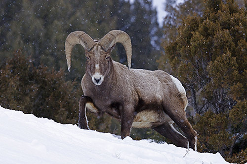 Bighorn Sheep Habitat: A bighorn sheep in the snow.