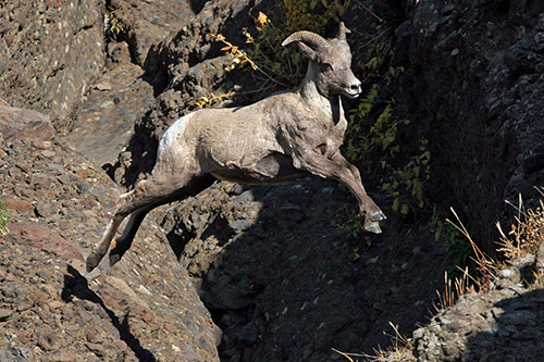 Bighorn Sheep Information: A bighorn sheep taking a leap across a chasm.