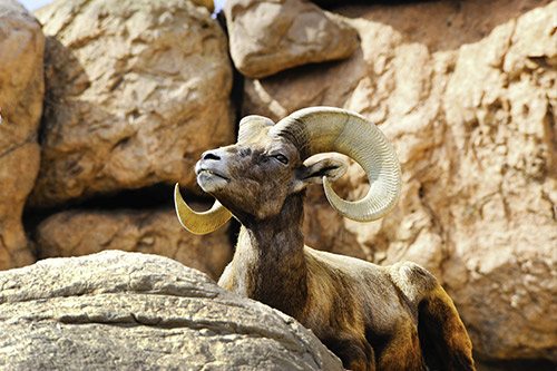 A bighorn sheep on some sunny rocks.