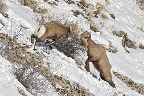 Two bighorn rams fighting.