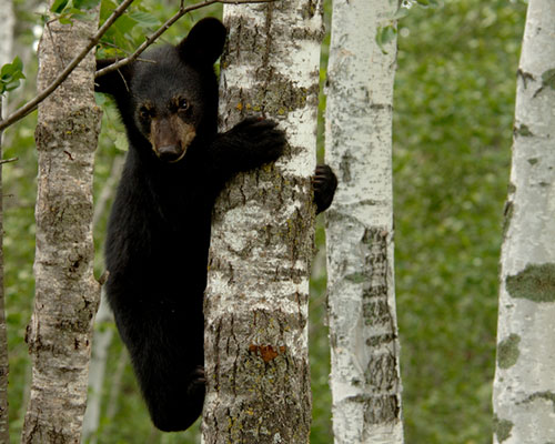 A black bear cub climbing a tree.