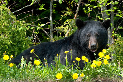 Black Bear Photos