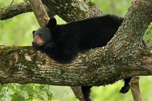 Black Bear Napping In A Tree