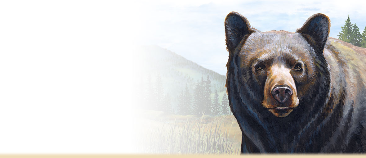 Black Bear Facts, Information, Photos, and Information about Black Bears and People.