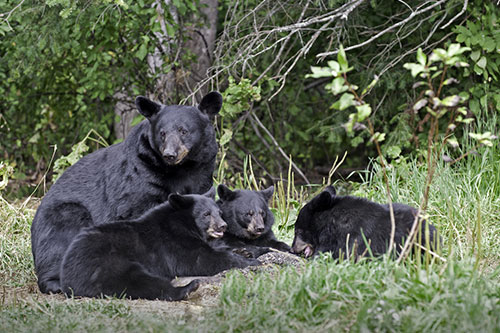 A mother black bear with her cubs.
