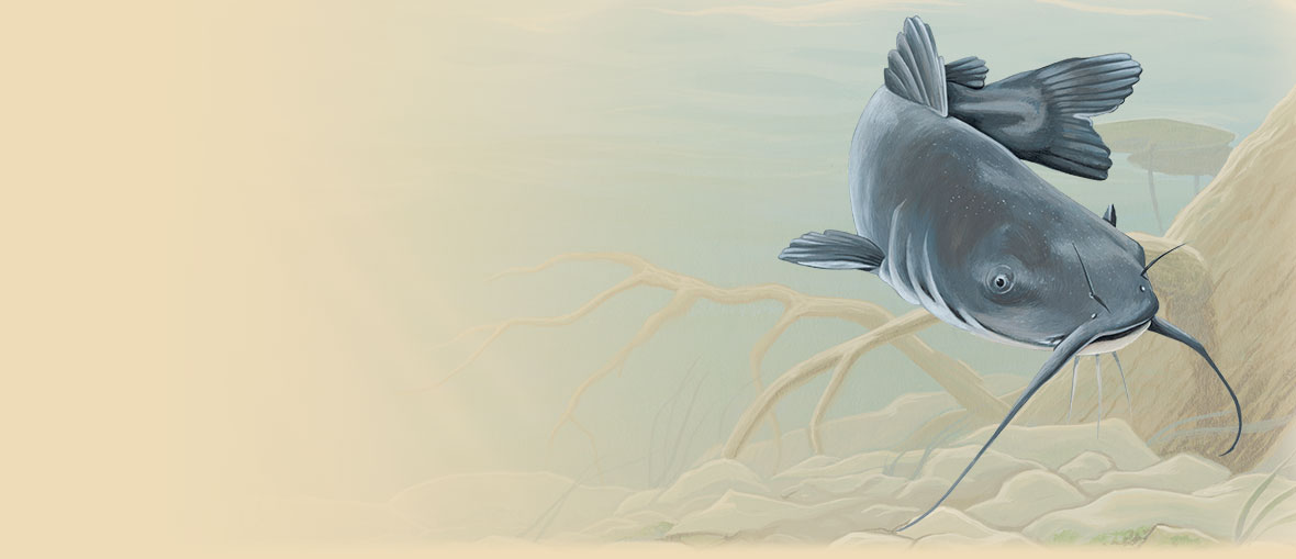 Painting of a Blue Catfish