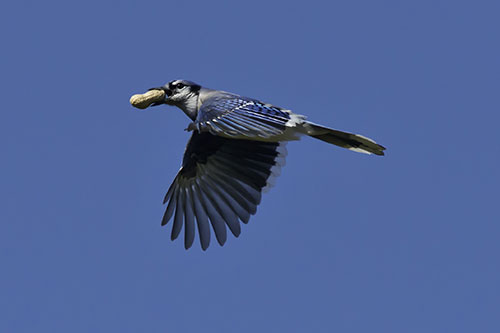 Blue jay flying with a peanut in its beak.