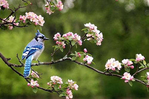 A blue jay in a flowering tree.