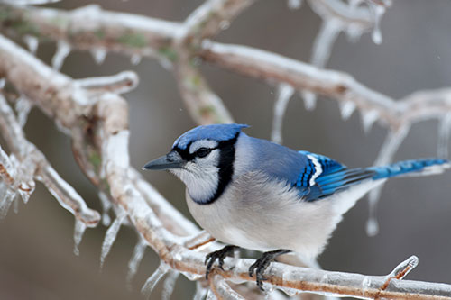 Blue jay on an icy branch.