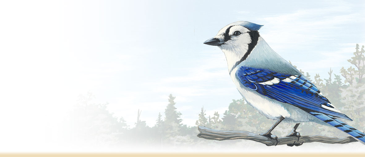 Blue jay facts, information, habitat and bird feeding tips from American Expedition.
