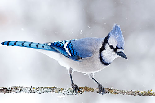 Blue jay with falling snow.