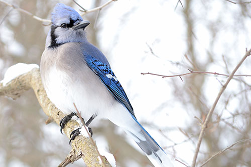 A blue jay with a snowy background.