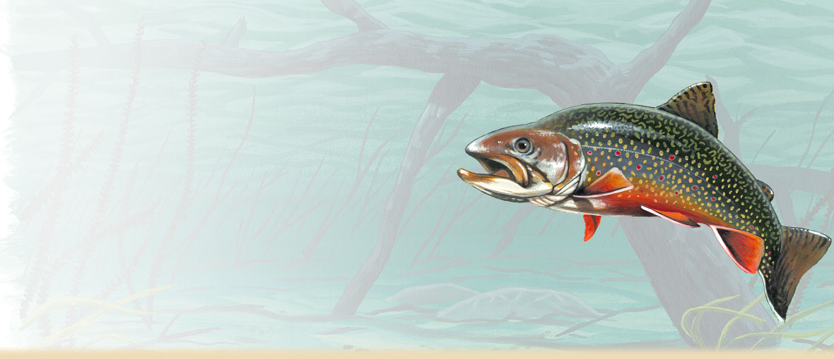 Brook trout information, facts, habitat, photos, and fishing tips.