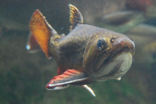 A brook trout from above.