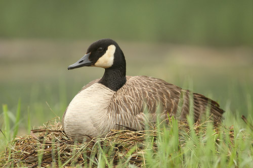 A Canada Goose sitting on a nest.