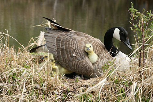A Canada Goose with goslings at the nest.