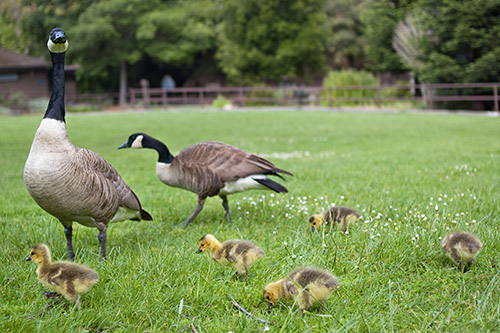 A group of Canada Geese with several goslings.