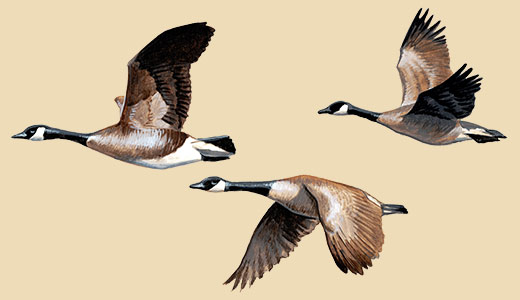 Three flying canada geese.