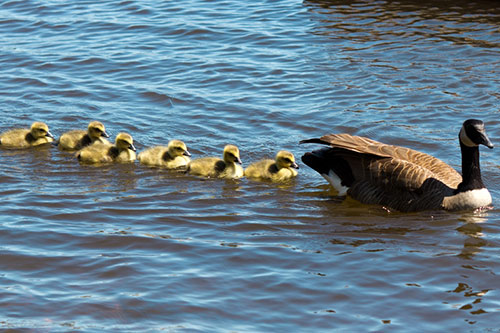 A group of Canada Goslings following their mother.