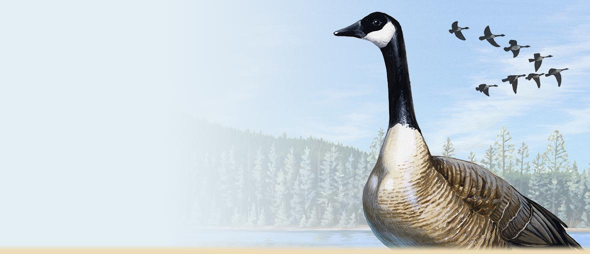 Canada Goose Facts, Information, Migration Details, Habitat Info, Photos & Artwork from American Expedition