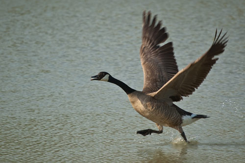 A Canada Goose about to take off from water.