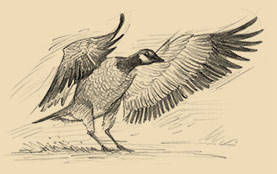 Sketch of a Canada Goose.