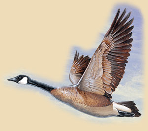 A painting of a flying Canada Goose.