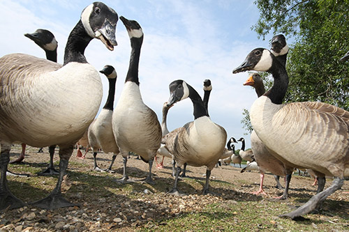 A group of Canada Geese from a low camera angle.