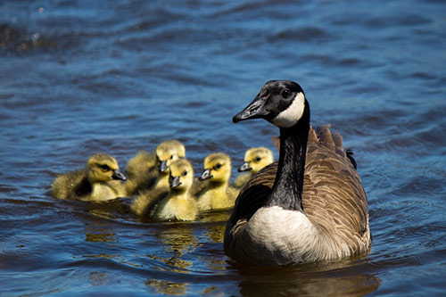 Goslings following behind a Canada Goose