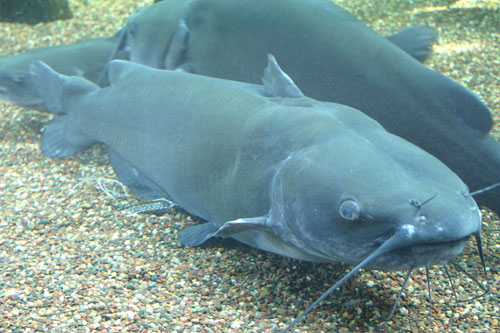 2 Channel Catfish in a tank.