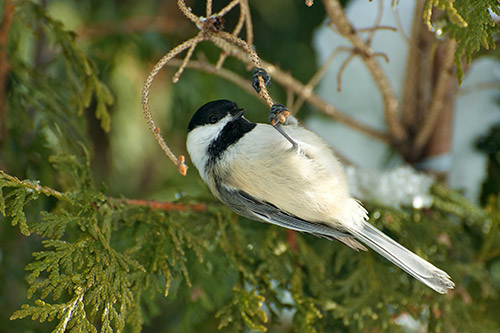 A chickadee in a pine tree