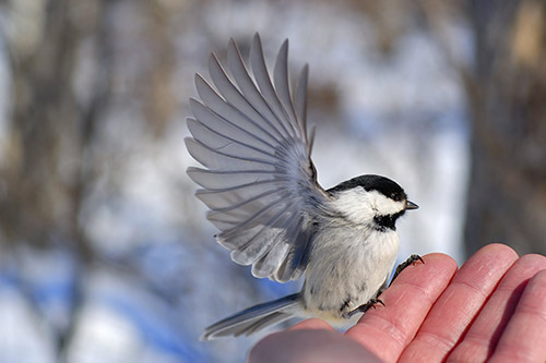 A chickadee landing on a person's hand.