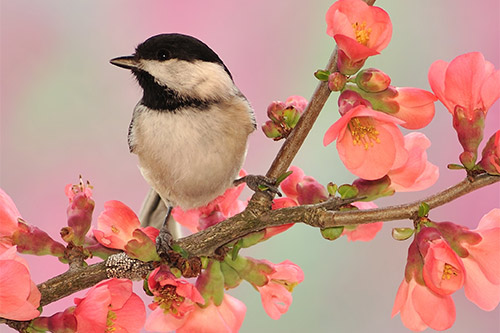 A chickadee on a branch with flowers in the spring.