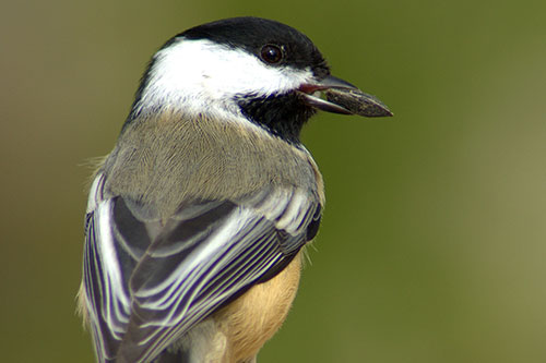 A chickadee with a black oil sunflower seed