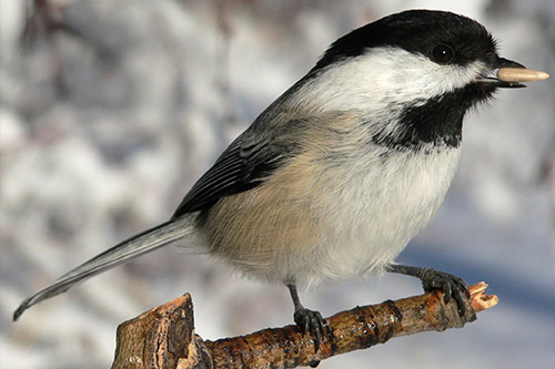 A chickadee with seeds in its mouth.