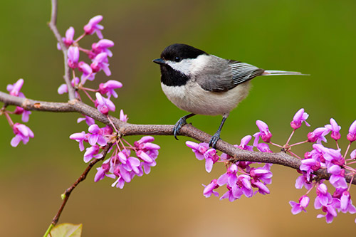 A chickadee on a flowering branch.