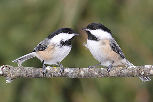 Two chickadees on a branch.