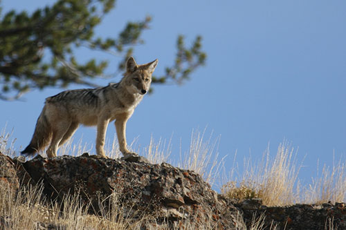 Coyote on a Bluff