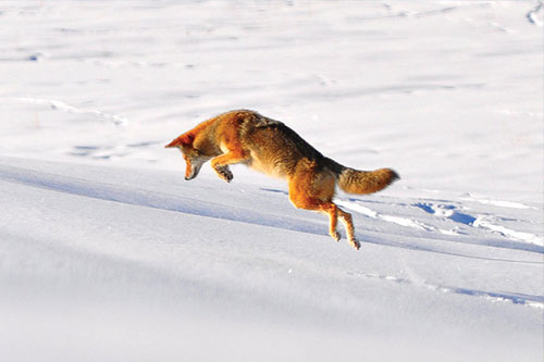 Coyote pouncing on snow