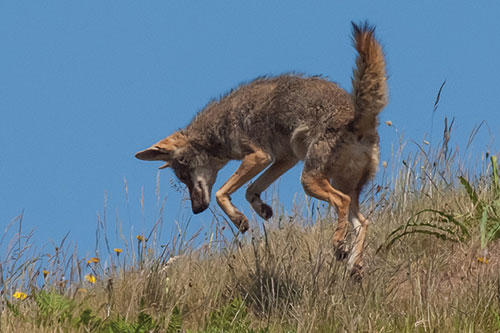 Coyote pouncing on small prey