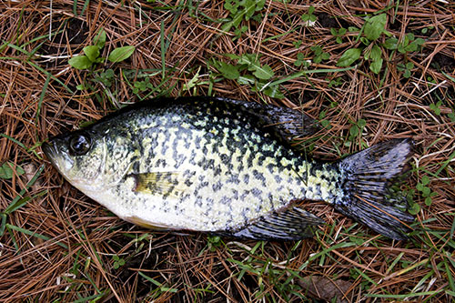 Adult bluegill for sale reflected for Pond stocking fish for sale