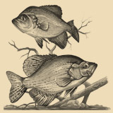 Sketch of two crappie.