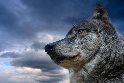 Majestic wolf and sky
